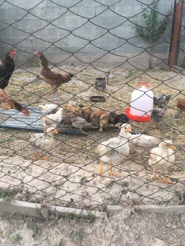 Цыплята домашние 2 месяцев