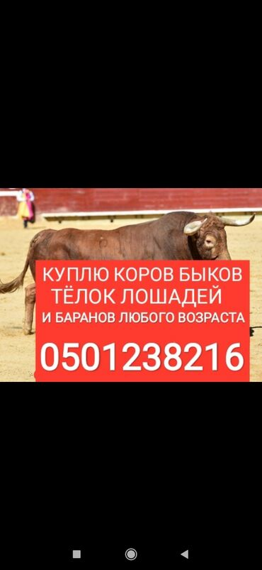 сумки для роддома купить в Кыргызстан: Куплю на мясо и откорм скот