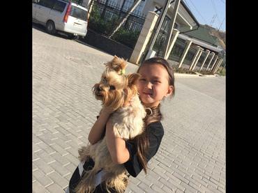 СРОЧНО! ДЕШЕВО!ПРОДАЕТСЯЙорк терьер- в Бишкек