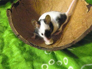 Грызуны - Кыргызстан: Японские карликовые мышки, 3 неделиЯпонская карликовая мышь – это