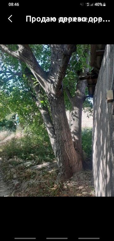 продам дом недорого in Кыргызстан   ПРОДАЖА ДОМОВ: Продаю дерево орех недорого