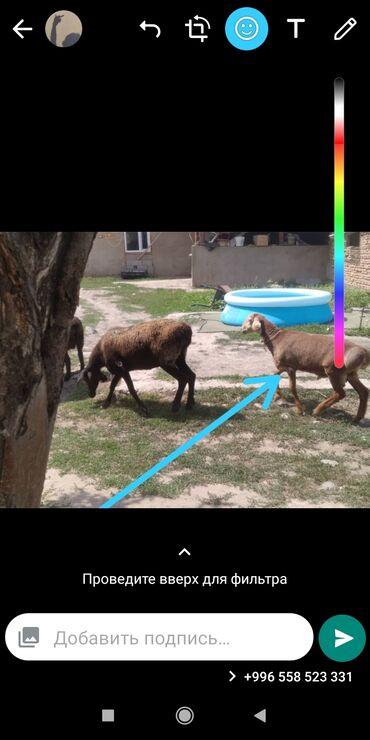 Животные - Садовое (ГЭС-3): Продаю кочкорика 3,5 месяц