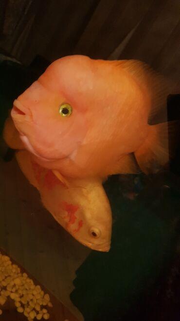 Popuqay və oskar balığı satılır.25 smlik.1 nin qiyməti 50 azndi