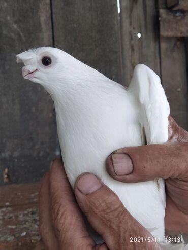 Птицы - Кыргызстан: Голубка. (цена договорная)