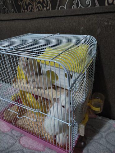 Хомяки - Кыргызстан: Продается две взрослых и две маленьких хомяков,клетка с