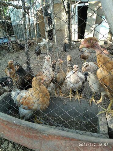 Животные - Арашан: Продам цыплят 3-4мес.(породы разные-несушки,голошейки)