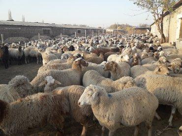 продаю овцематок , ягнят , валухов , цена договорная  в Кант