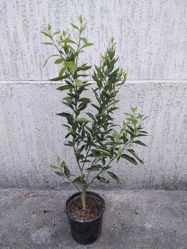 В наличии мандарины, трехлетние, высота около метра, привиты, есть