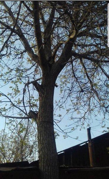 Продаю ореховое дерево. самоспил и самовывоз в Бишкек