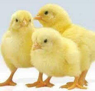 продажа кур несушек в бишкеке в Кыргызстан: Продаются недельные цыплята от кросса несушек Хай Лайн!Самовывоз!