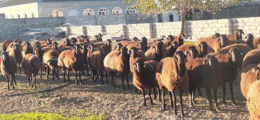 qoyunlar - Azərbaycan: Morkaraman cinsi qoyunlar