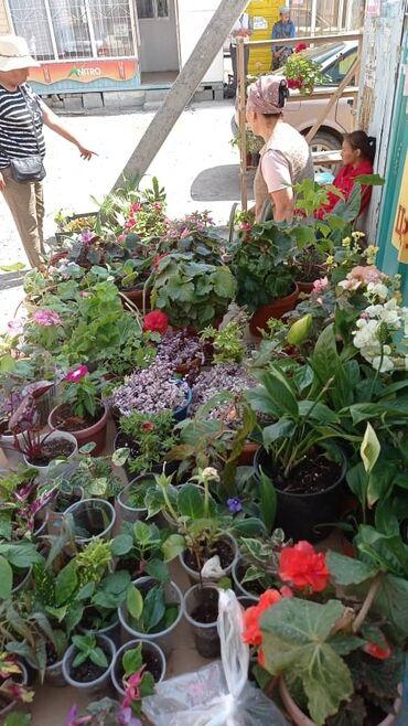 187 объявлений: Комнатные цветы из разных сортов имеется детки свежие срезы мужское сч