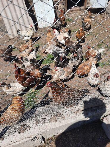 Животные - Алмалуу: Курица хорошие кучинские