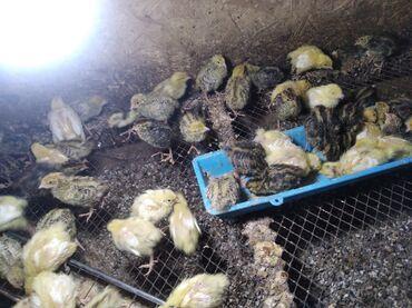 Животные - Ак-Джол: Продаю перепёлки суточные 25сом, недельные 35сом .яйцо инкубационный