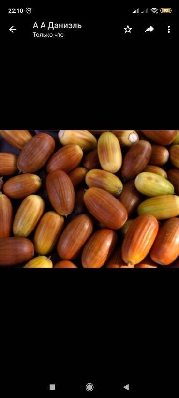 купить subaru outback в Ак-Джол: Куплю жёлуди по 5+сом за кг