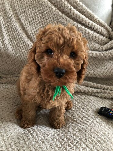 Whatsapp (+)We have a litter of healthy cavapoo puppies ready to go