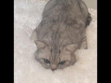 Bakı şəhərində Кот на вязку..Чистокровный