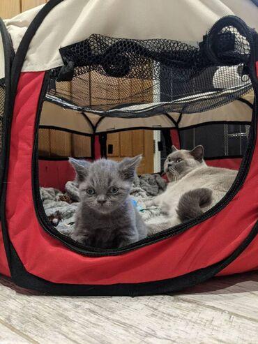 Prepared british short hair-kittens, amazing unadulterated