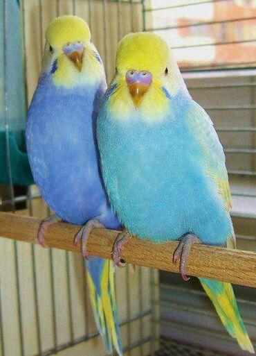 Волнистые попугаиРучные,здоровые, молодые попугаи!Очень легко