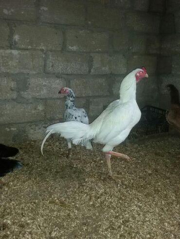 Животные - Дюбенди: Şəkildə gördüyünüz heyratıların yumurtaları satılır
