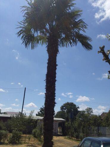 Otaq bitkiləri - Göytəpə: Palma agaci 20 ilindi 5-6 metr uzunluqunda tecili satilir
