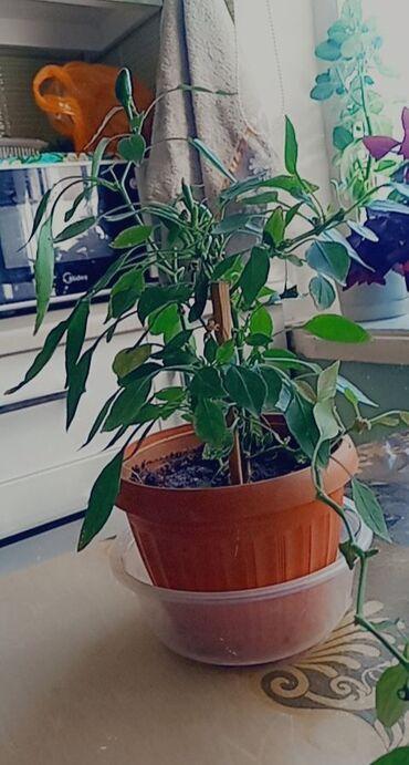 Другие комнатные растения - Кыргызстан: Продаю ростки карликового огненного перца. -не привередливый -очень