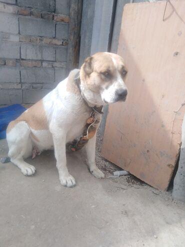 купить для собаки в Кыргызстан: Алабай сучка 1 и 5 ей обмен на овчарку чиста кромную на щенков есл