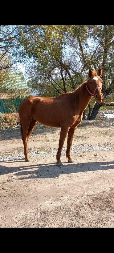 французский квартал бишкек in Кыргызстан | ПРОДАЖА КВАРТИР: Продаю | Кобыла (самка) | Для разведения, Конный спорт | Племенные