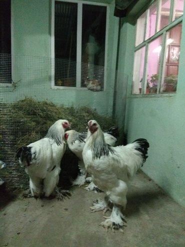 Продам молодых петухов  брамы возраст 5 мес: Палевая, Светлая, Сто в Бишкек