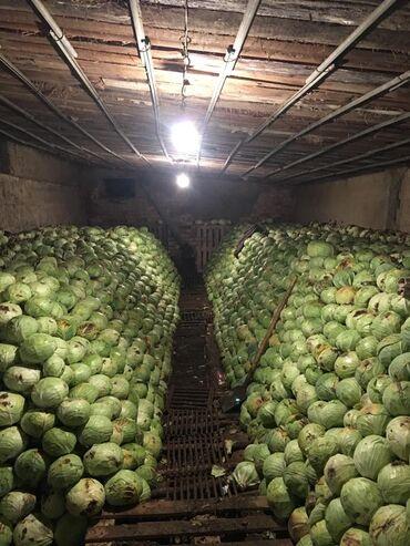 Овощи, фрукты - Кыргызстан: Продаю капусту на хранение сорт Даминант Таргус с поля   Адрес : Джа