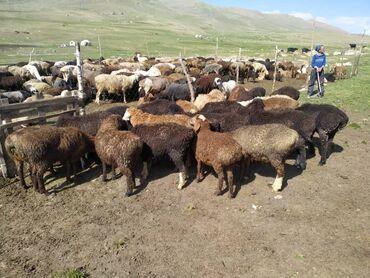 Животные - Токтогул: 30баш козу сатылат 4жарым айлык