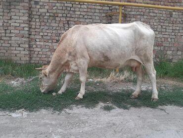 С/х животные в Кыргызстан: Саан уйлар сатылат, 9-10л суту бар,жоош уйлар Бироо 5ай бооз