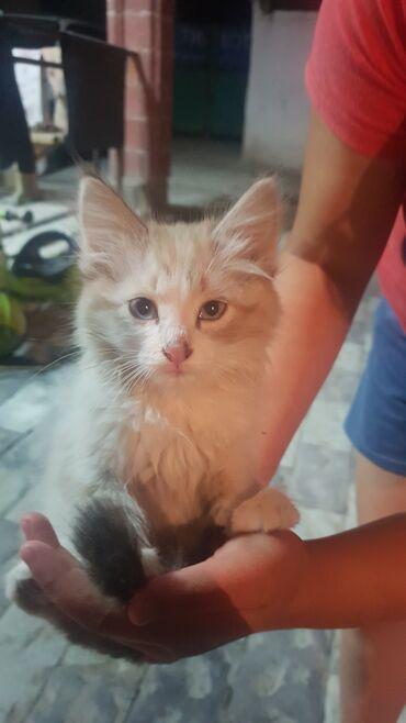 Животные - Кунтуу: В добрые руки,котята белые оба симпатичные, обработаны чистые