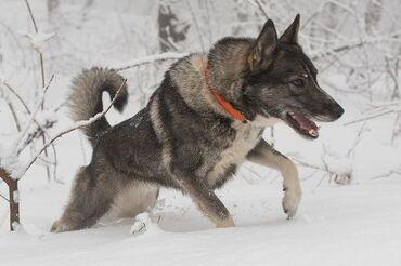 Pas - Srbija: Na prodaju štenad zapadno sibirske lajke oštenjeni 09.07.2020