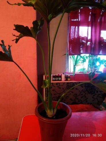 Комнатные растения - Сокулук: 1800