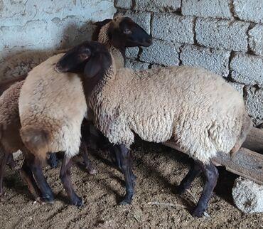 3263 elan | KƏND TƏSƏRRÜFATI HEYVANLARI: 3 baş 1 qarın doğmuş Qala qoyunu satılır.qiymət üçünə aiddir istəyən