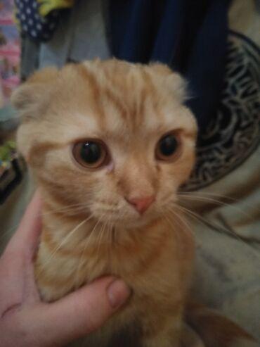Коты - Кыргызстан: Котята от 3 месяцев. Проглистованны сделана первая прививка