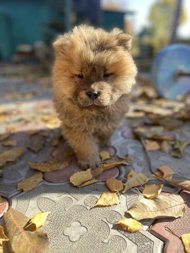 джек рассел терьер бишкек in Кыргызстан | СОБАКИ: Продаются очаровательные щенки Чау Чау ! 2 месяца . Две милые чёрные д