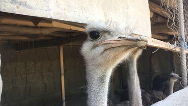 гостиница ош суточный цена in Кыргызстан | БЫТОВАЯ ХИМИЯ, ХОЗТОВАРЫ: Бизнес готовы страус  можно бартер лошадь тай бee страусов 2021май 3 г
