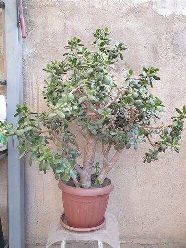 Денежное дерево - Кыргызстан: Денежное дерево