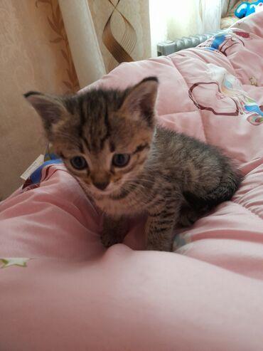 Находки, отдам даром - Кыргызстан: Отдам даром котёнка котят в добрые заботливые руки Котята от домаш