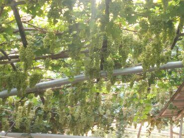Электроника - Ош: Домашний виноград