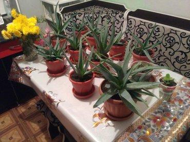 Продаю лекарственные растения Алоэ вера. в Бишкек
