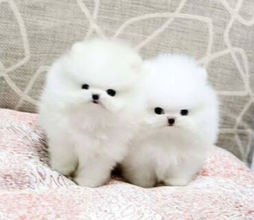 Cute pomeranian puppies Ready for rehoming both genders available