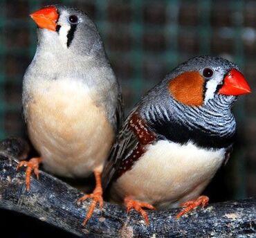 Птицы в Кыргызстан: Амадины