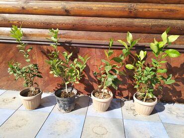 Лимоны - Кыргызстан: Ташкентские лимоны, высота 35_40 см, отлично сформированы
