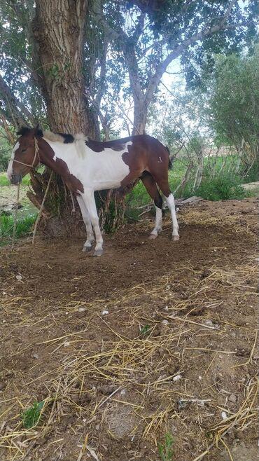 Животные - Ат-Башы: Коровы, быки