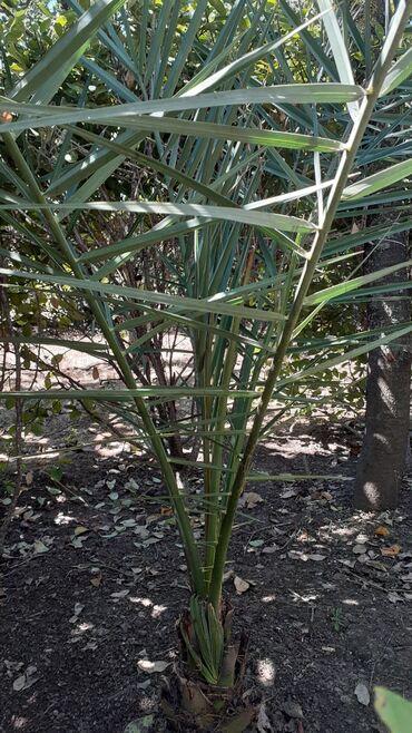 Otaq bitkiləri - Masallı: Başqa ağaclarda var. Real alıcı narahat etsin digər xurma ağaclarının