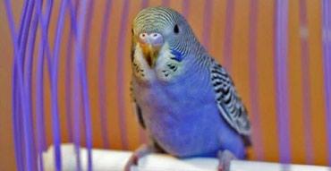 Молодые попугаи  в Бишкек