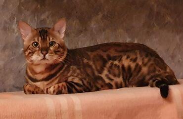 бенгал в Азербайджан: Бенгальские кошки на брони Бeнгaльcкие очень лаcковые детки готoвы к